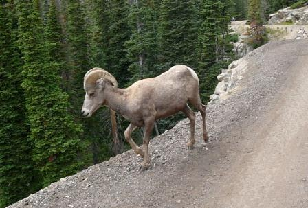 Rocky Mountain Bighorn Sheep, Colorado
