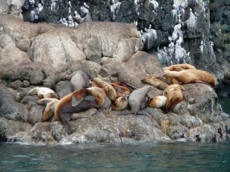 Steller sea lions in Resurrection Bay, Seward, Alaska